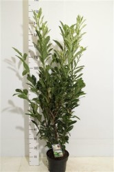Prunus Lauroceracus 'ivory' 80 cм