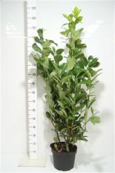 Prunus Laurocerasus 'rotundifolia' 100 cм