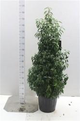 Prunus Lusitanica 'angustifolia' 100 cм