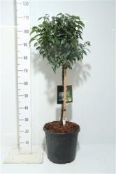 Prunus Lusitanica 'angustifolia' 85 см