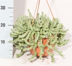 Крассула (Crassula marnieriana) (24)