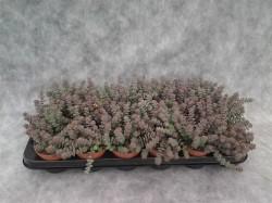 Крассула (Crassula marnieriana Hottentot) (23)