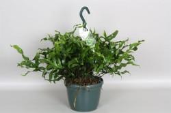 Папоротник diversifolium 63
