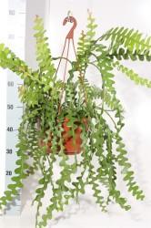 Эпифиллум угловатый (Epiphyllum anguliger) 26