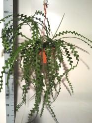 Эпифиллум угловатый (Epiphyllum anguliger) 27