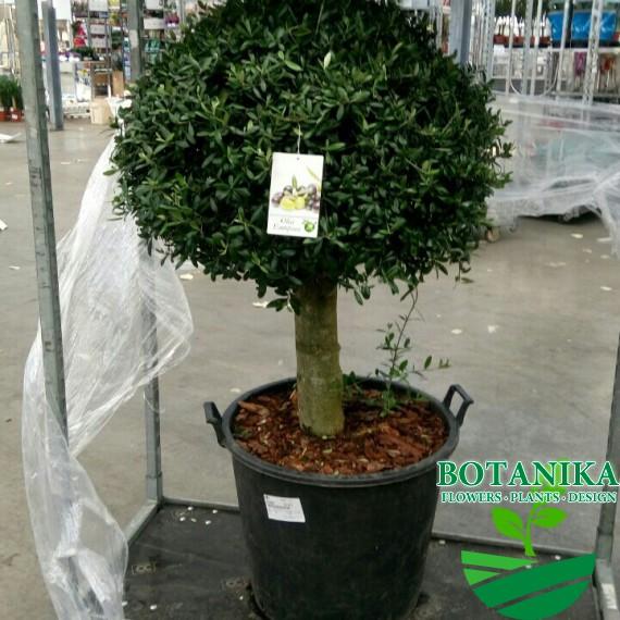 Оливковое дерево 140см