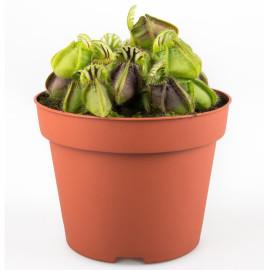 Цефалот мешочковый растение