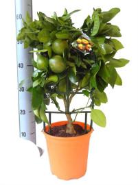 апельсиновое дерево 65см