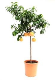 Взрослое дерево Грейпфрута