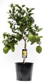 лимон 85см