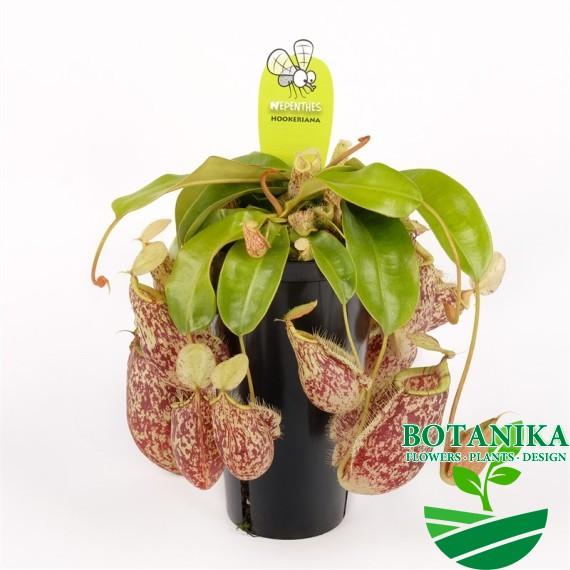 непентес hookeriana