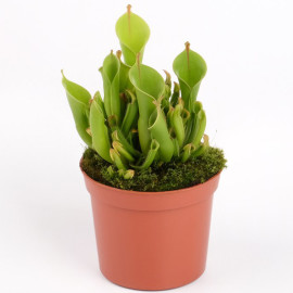 растение Гелиамфора гетеродокса