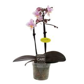 Луиз мини орхидея