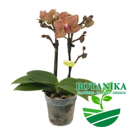 Милоу мини орхидея