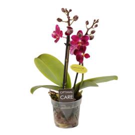 Прекрасный аромат мини орхидея