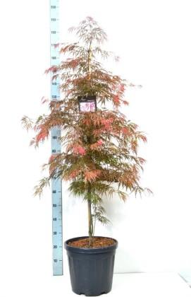 Клён веерный пальмолистный Гарнет 170