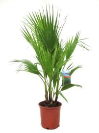 Пальма Вашингтония 80-100см