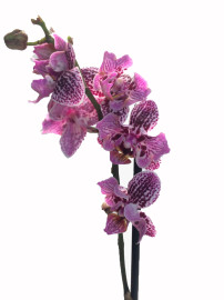 Орхидея мутант особенная