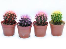 Эхинокактус Грузона цветной
