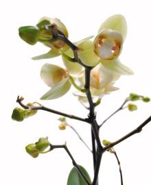Лимонная орхидея мутант