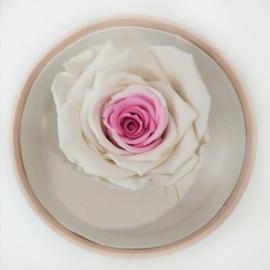 Стабилизировання роза белая с розовым св