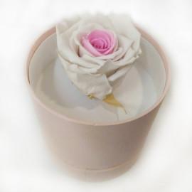 Стабилизировання роза белая с розовым