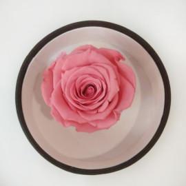 Стабилизировання роза красочная
